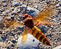 Unknown 'Wasp?' - Sphecius