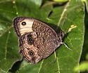 Butterfly - Cercyonis pegala