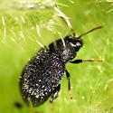 Small Beetle - Epitrix fuscula
