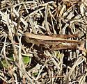 grasshopper - Orphulella pelidna - female
