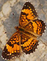 chlosyne nycteis butterfly? - Chlosyne nycteis - male