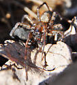 Mating Hacklemesh Weavers? - Coras - male - female