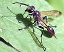 What kind of wasp is this? View 2 - Isodontia mexicana