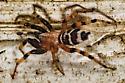 on the cellar steps - Sergiolus capulatus - male