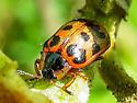 Lady Beetle? - Chrysomela knabi