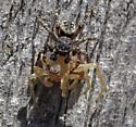 Jumping Spider with Prey - Pseudeuophrys erratica
