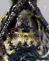 Lady in Waiting - Micrathena gracilis - female
