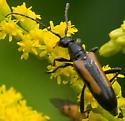 Flower Longhorn Beetle sp. - Strangalepta abbreviata