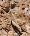 Spotted-winged Grasshopper - Orphulella pelidna