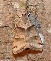 Forage Looper - Hodges#8739 (Caenurgina erechtea) - Caenurgina crassiuscula