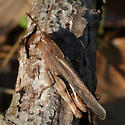 Northern Green-striped Grasshopper ? - Chortophaga viridifasciata