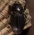 Beetle - Dorcus parallelus
