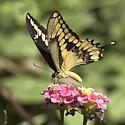 Need a photo of P. cresphontes from Arizona? - Papilio rumiko - male