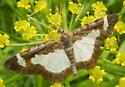 Common Spring Moth - Heliomata cycladata
