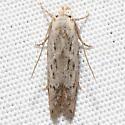 Blastobasinae - Hypatopa vestaliella