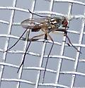 Dolichopodidae (Longlegged Flies)