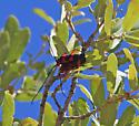 Megapurpuricenus magnificus - male - female