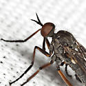 Fly - Empis spectabilis - male