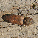 Dewy Click Beetle - Lacon rorulentus