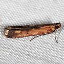 Lesser Cornstalk Borer Moth - Elasmopalpus lignosellus