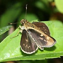 Carolina Roadside-Skipper - Amblyscirtes carolina