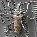 Long-horned Beetle - Monochamus notatus