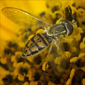 Syrphid Fly - (Toxomerus marginatus) or (Toxomerus geminates) ID Please  - Toxomerus marginatus - female