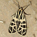 Tiger Moth Sp. - Grammia parthenice