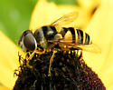 Hoverfly - Eristalis transversa - female