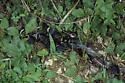 A Burying Beetle Garden Party - Necrophila americana