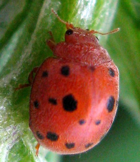 Twenty-four Spotted Ladybird Beetle - Subcoccinella vigintiquatuorpunctata