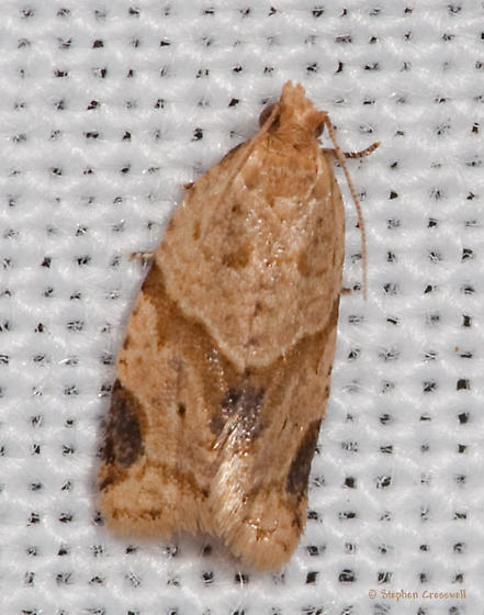 Moth from the Zimlich Zone - Clepsis peritana