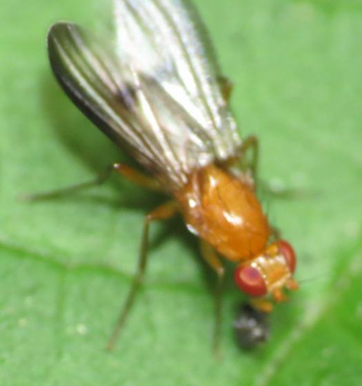 Orange Fly 2 - Clusia occidentalis