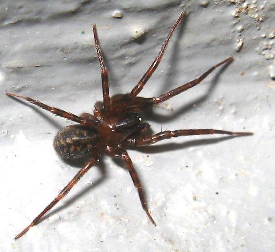 Spider - reddish brown & black