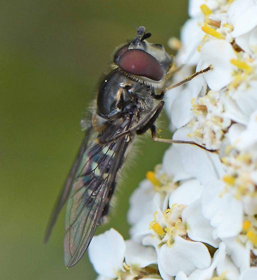 syrphid  - Dasysyrphus occidualis