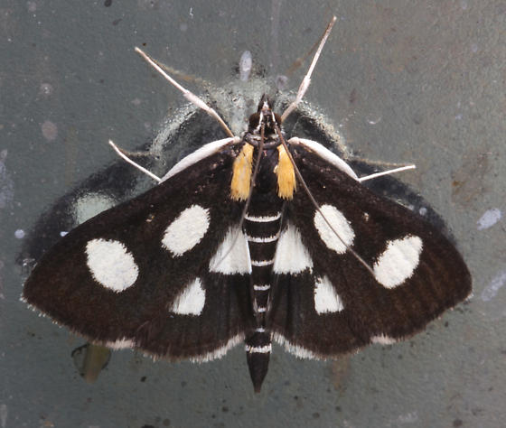 Crambidae, White-spotted Sable - Anania funebris