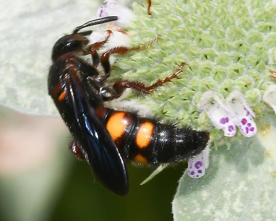 Potter/Mason Wasp? - Scolia nobilitata - female