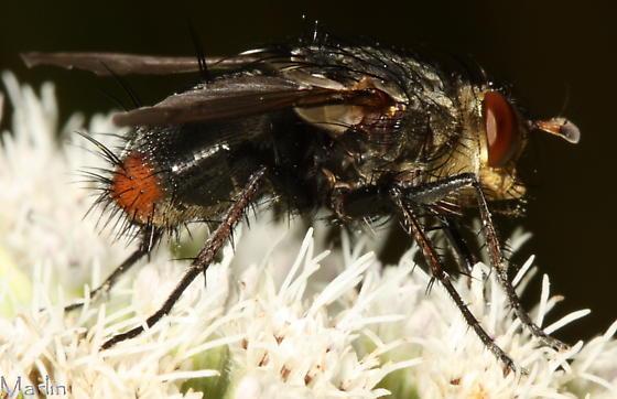 Fly - Peleteria