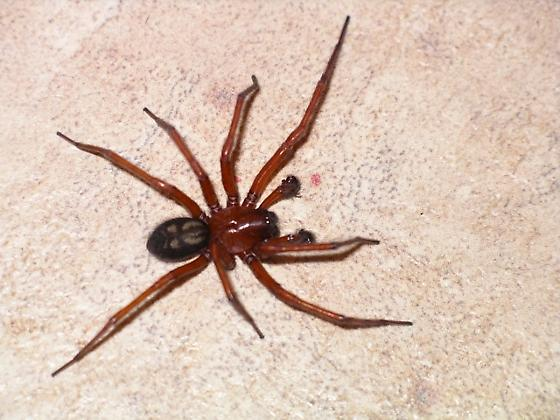 What kind of spider is this? - Callobius