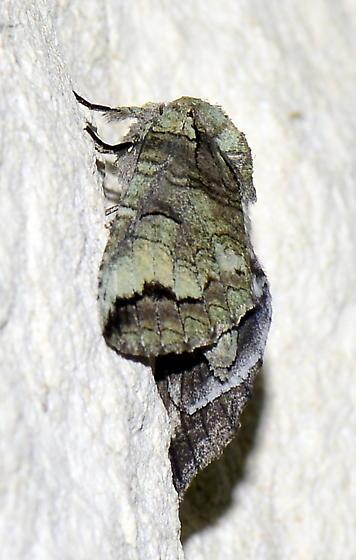 Heterocampa astartoides? - Heterocampa astartoides
