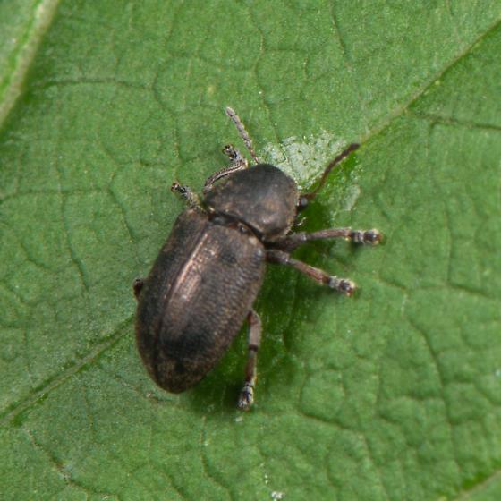 unknown beetle - Myochrous