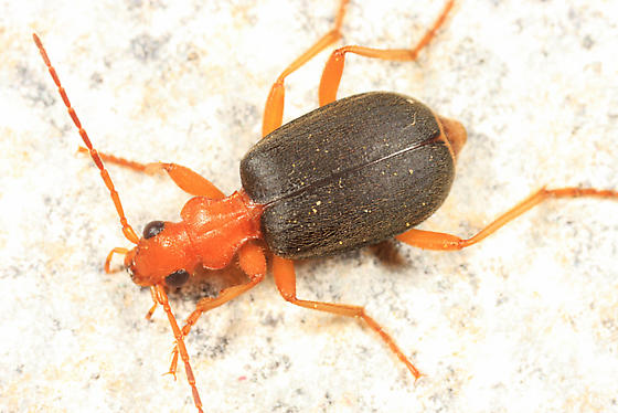 Bombardier Beetle - Brachinus cyanipennis