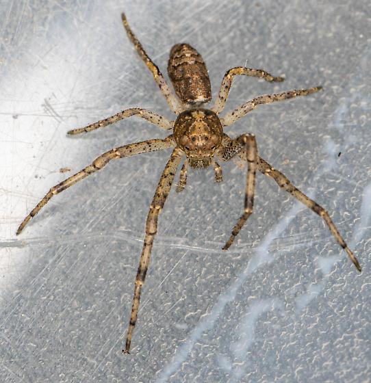 Brown spider - Tmarus