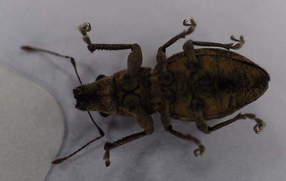 Unknown Weevil - Naupactus cervinus