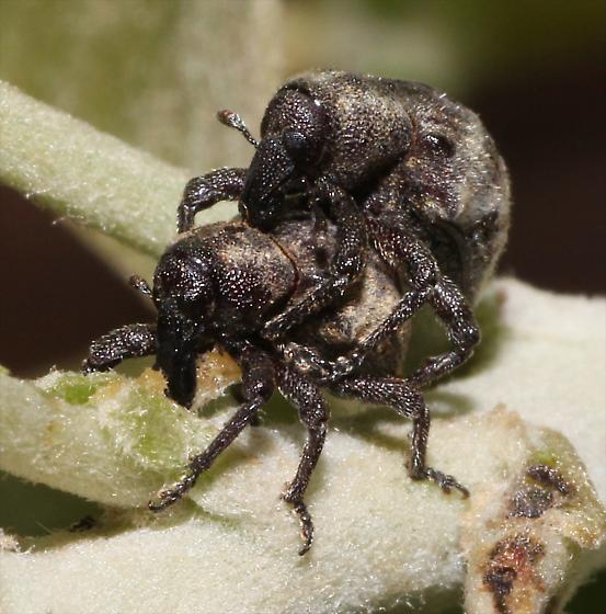 Black faced Weevil - Sternechus paludatus - male - female