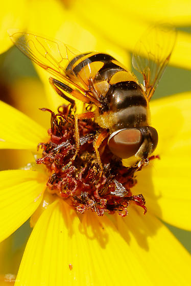 Fly - Syrphidae? - Eristalis transversa