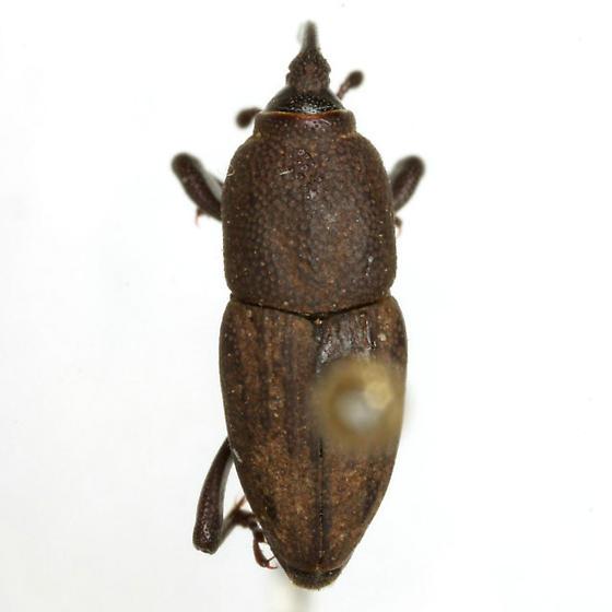 Sphenophorus parvulus Gyllenhal - Sphenophorus parvulus