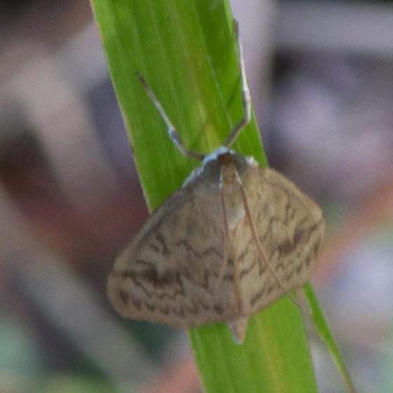 unknown moth - Ostrinia penitalis