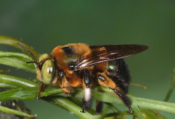 Green-eyed bee on wild radish - Xylocopa micans - male