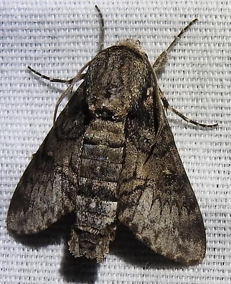 Cautethia spuria from far south TX - Cautethia spuria